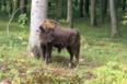 En ungtyr på 400 kilo er flyttet ind i Merritskov på Lolland.