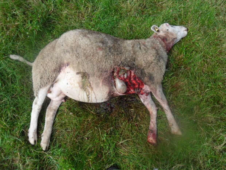 Her ses et af de får, som blev fundet dræbt på en mark i Vestjylland. Klik dig videre og se alle billederne. Advarsel: Stærke billeder