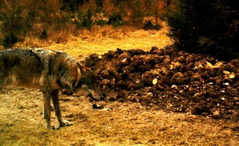 Det seneste danske skud på ulve-stammen er - udover denne ulv, der for nylig gik i en fotofælde - ulve-hotlinen.