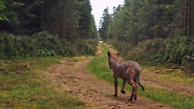 ulve set danmark