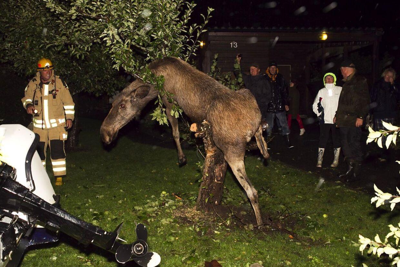 Elg på afveje: En svensk elg på æblerov gik lidt for hårdt til de gærede sager. Den forsøgte at kravle op i et træ i sin brandert.