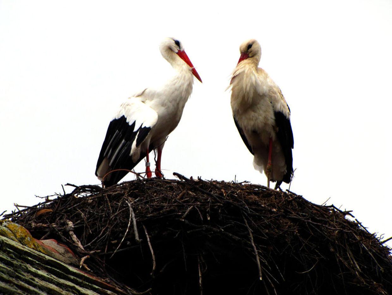 Storke-sensation: Rodan flyver hvert år 13.000 kilometer for at komme hjem til sin handicappede storke-kæreste, Malena i Kroatien, hvor de sætter nye unger på vingerne.Her er det usædvanlige storkepar på toppen af familien Vokic' hus i Slavonski Brod.