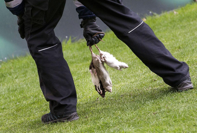 En kontrøllør fjerner de døde rotter fra banen.