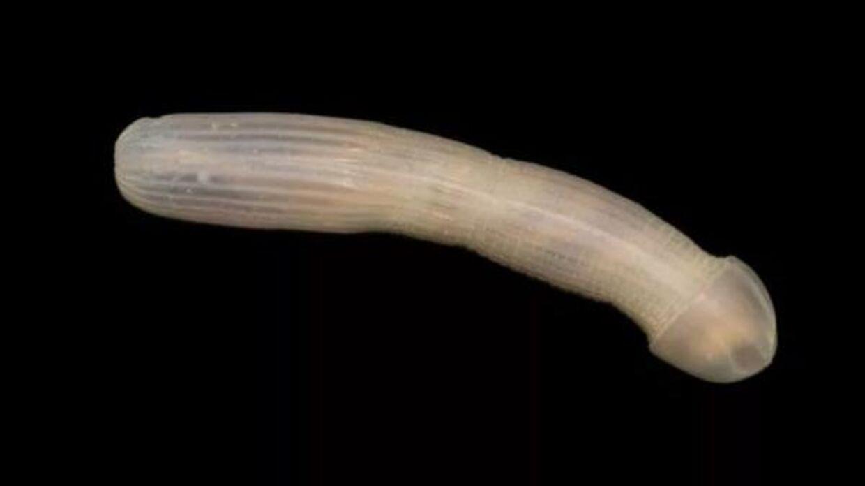 Den opsigtsvækkende orm kan pudsigt nok formere sig uden at dyrke sex.
