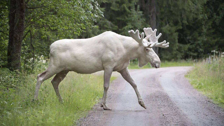 Ferdinands hvide farve skyldes ifølge eksperter en gen-mutation.