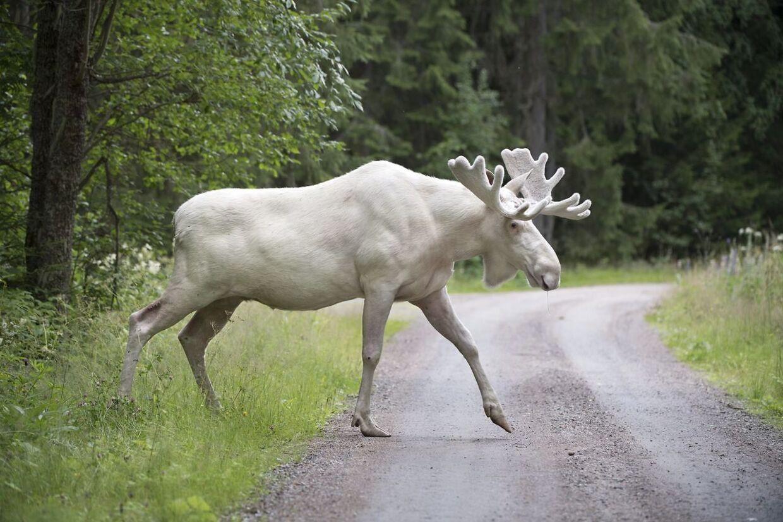 Den sjældne hvide elg blev for alvor kendt sidste sommer, da den blev videofilmet. Siden valfartede svenskerne ud i skovene for at finde den i så stort antal, at kritikere sammenlignede det med en hjemmeværnsøvelse. På et tidspunkt gav politiet tilladelse til, at den hvide elg måtte skydes, fordi den havde været for aggressiv i nærkontakten med mennesker, men efter en underskriftsindsamling, hvor nogle også tilbød at være levende skjold for dyret, trak politiet i land. Nu er dyret tilsyneladende forsvundet - måske druknet.