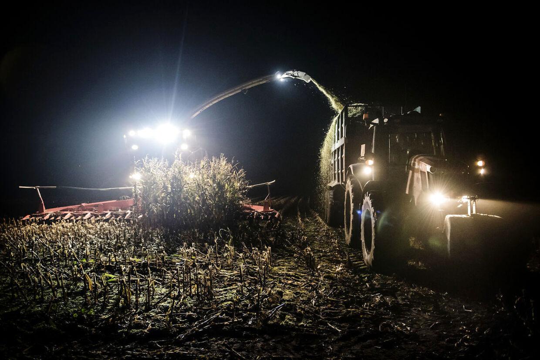 Majsen bliver høstet over alt i Tønder Kommune fra tidlig morgen til sen aften. I det øjeblik, de sidste majsplanter er blevet høstet på den ene mark, kører maskinerne målrettet videre til den næste mark.