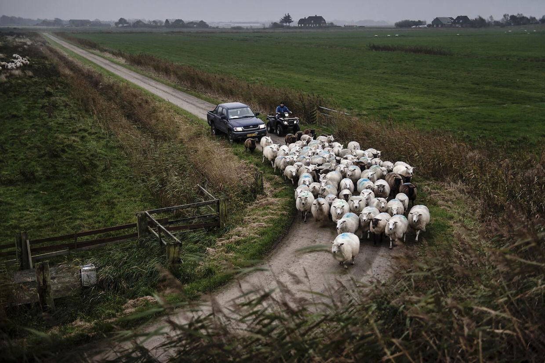 Leon Sønnichsen og hans assistent Florian fra Rumænien kører bag en flok får i en pick up truck og en firehjulet motorcykel. De er på vej til Leons gård, hvor fårene skal skilles fra bukkene.