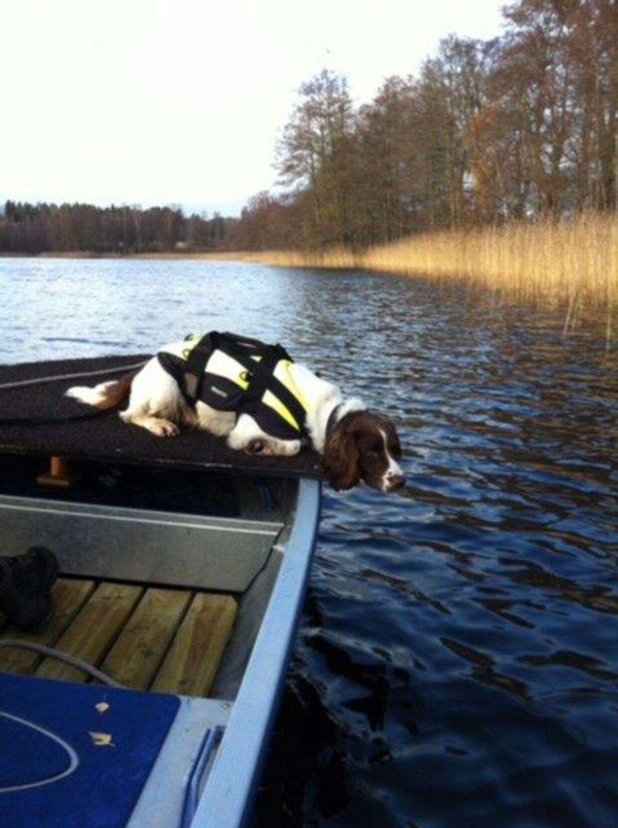 Springerspanielen Ben er en af de to svenske politihunde, som har hjulpet Københavns Politi med at finde de manglende dele af Kim Walls lig, som Peter Madsen efterlod i Øresund efter han havde parteret liget på et tidspunkt i løbet af natten til 11. august. Springerspanielen Ben og labradoren Ace er særligt trænede til at kunne lugte ligrester, som ligger under vand. Hundene har kunne få færten af ligresterne, selvom de lå på op til 12 meters dybde. Hundene har været helt afgørende i arbejdet med at finde ligdelene, hvor politiet stadig mangler at finde Kim Walls højre arm. På billedet er Ben på arbejde i Sverige, hvor hunden normalt arbejder for svensk politi.