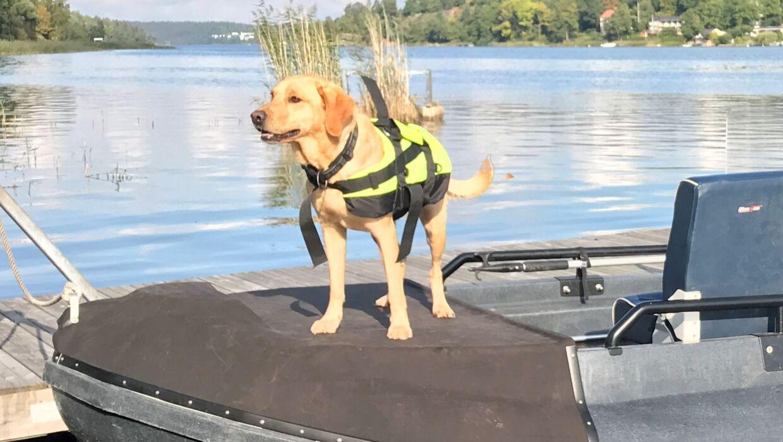 Labradoren Ace er en af de to svenske politihunde, som har hjulpet Københavns Politi med at finde de manglende dele af Kim Walls lig, som Peter Madsen efterlod i Øresund efter han havde parteret liget på et tidspunkt i løbet af natten til 11. august. Springerspanielen Ben og labradoren Ace er særligt trænede til at kunne lugte ligrester, som ligger under vand. Hundene har kunne få færten af ligresterne, selvom de lå på op til 12 meters dybde. Hundene har været helt afgørende i arbejdet med at finde ligdelene, hvor politiet stadig mangler at finde Kim Walls højre arm.