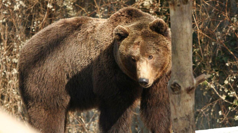 Aalborg Zoo har aflivet to gamle brunbjørne.