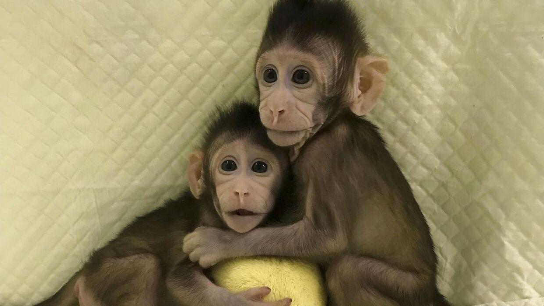 Et hold kinesiske forskere har skabt de to kloner Zhong Zhong og Hua Hua.