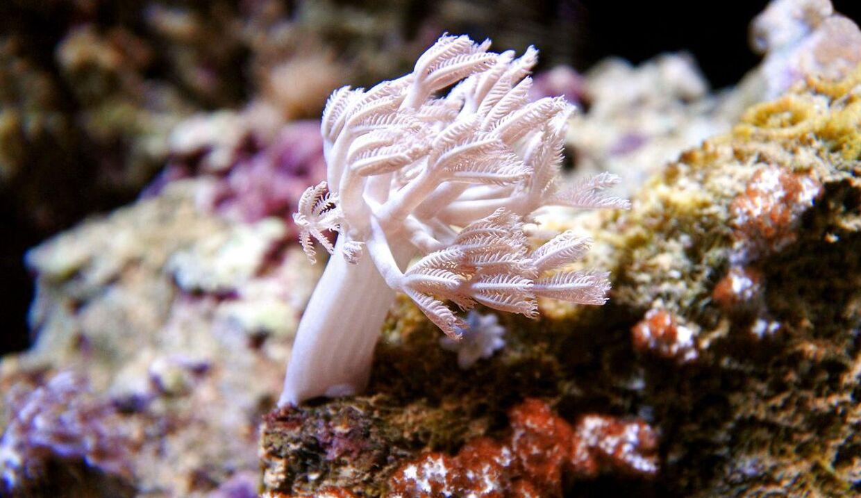 Dette er et arkivfoto af korallen 'pulsing xenia', som udløste den dødelige gift i familiens hjem.