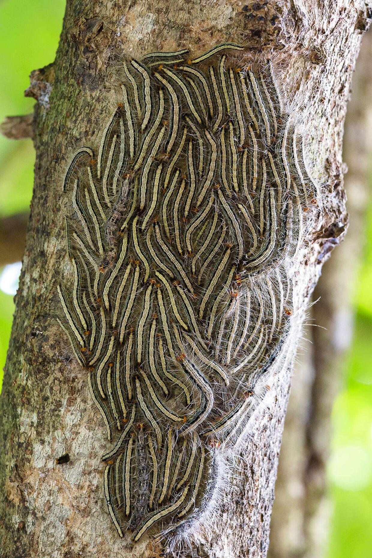 Her ses en rede af OPM-larven.