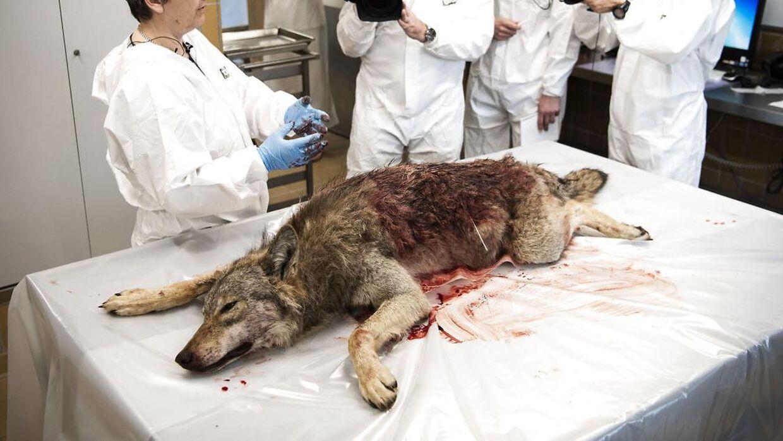 DTU Veterinærinstitut i København modtog ulven, efter den blev skudt.