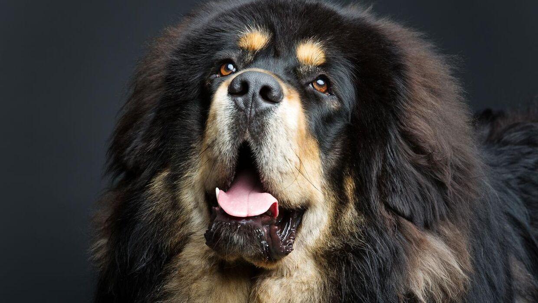 En kinesisk familie troede, de havde opfostret en hund af racen tibetansk mastiff. De tog fejl.