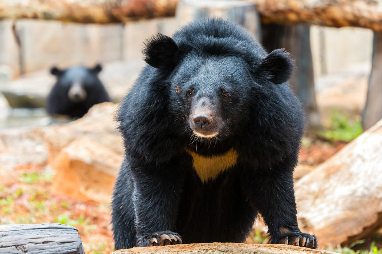 En Himalayabjørn i en zoologisk have. Arten kaldes også kravebjørn på grund af den karakteristiske hvide plet på brystet.