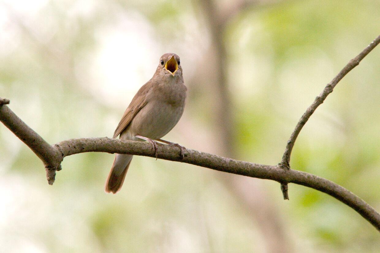 Nattergalen er en af de fugle, man kan høre synge, hvis man tager ud i den danske natur. Den synger døgnet rundt. Steffen Ortmann/Ritzau Scanpix