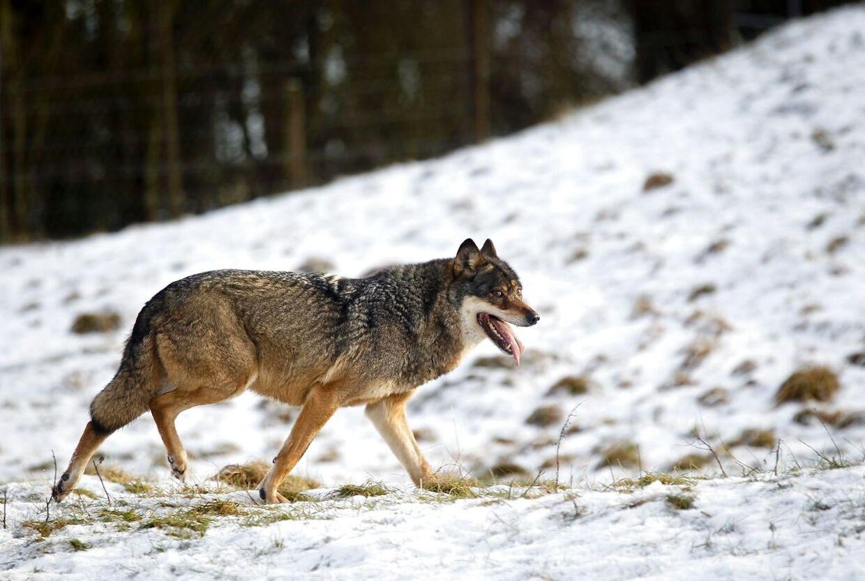 (ARKIV) Ulv i Skandinavisk Dyrepark den 5. februar 2013. Små børn skal ikke rende rundt alene i skoven - og lad være med at løbe ture med høretelefoner på. Sådan lyder forskernes råd nu til folk, som er naboer til ulve. Det skriver Ritzau mandag den 5. marts 2018. (Foto: Lars Rasborg/Scanpix 2018)