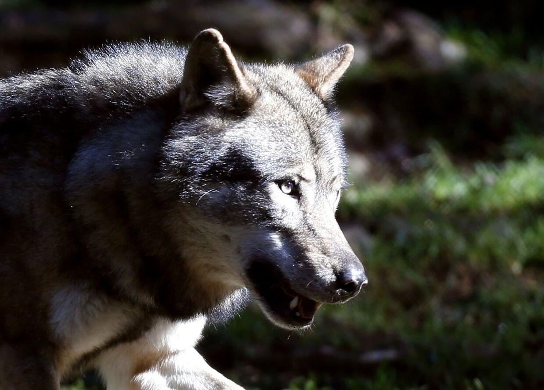 ARKIVFOTO 2012 af ulv i Frankrig- - Se RB INDLAND 17.13. Efter 200 år har Danmark fået de første indfødte ulve. De første ulve i 200 år blev formentlig født syd for Holstebro og kan dermed bryste sig af at være jyske. (Foto: VALERY HACHE/Scanpix 2017)