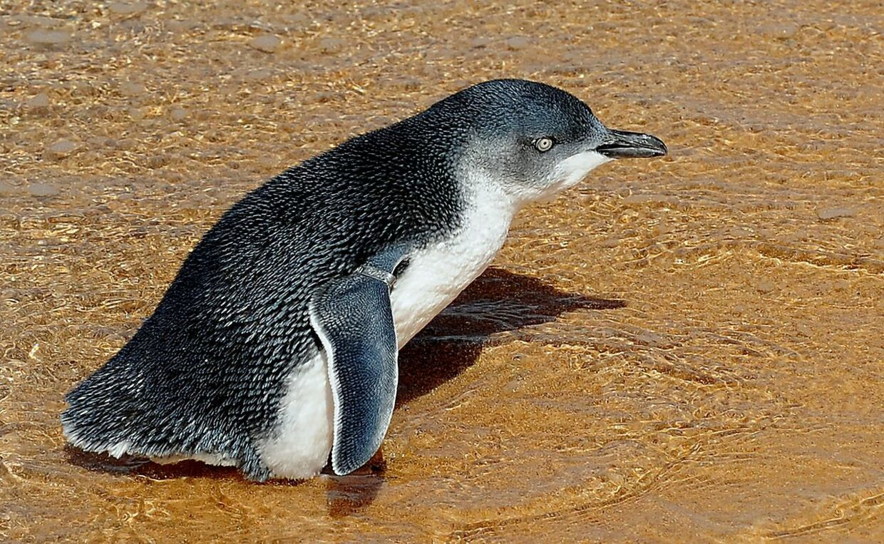 (FILES) This file photo taken on March 20, 2009 shows a young penguin being released into the open ocean near Sydney. A man who bludgeoned six fairy penguins to death was sentenced to just 49 hours community service by an Australian court on June 25, 2018, sparking outrage from conservationists. Joshua Jeffrey was convicted of aggravated cruelty to animals after he battered the birds with a stick while drunk on a beach with two others at Sulphur Creek in Tasmania state in 2016. / AFP PHOTO / Greg Wood