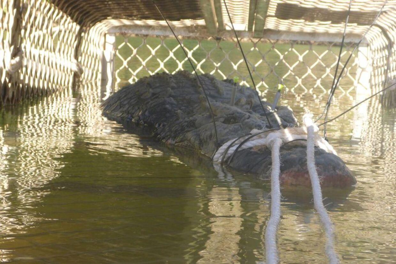 Den kæmpestore krokodille er gået i fælden.