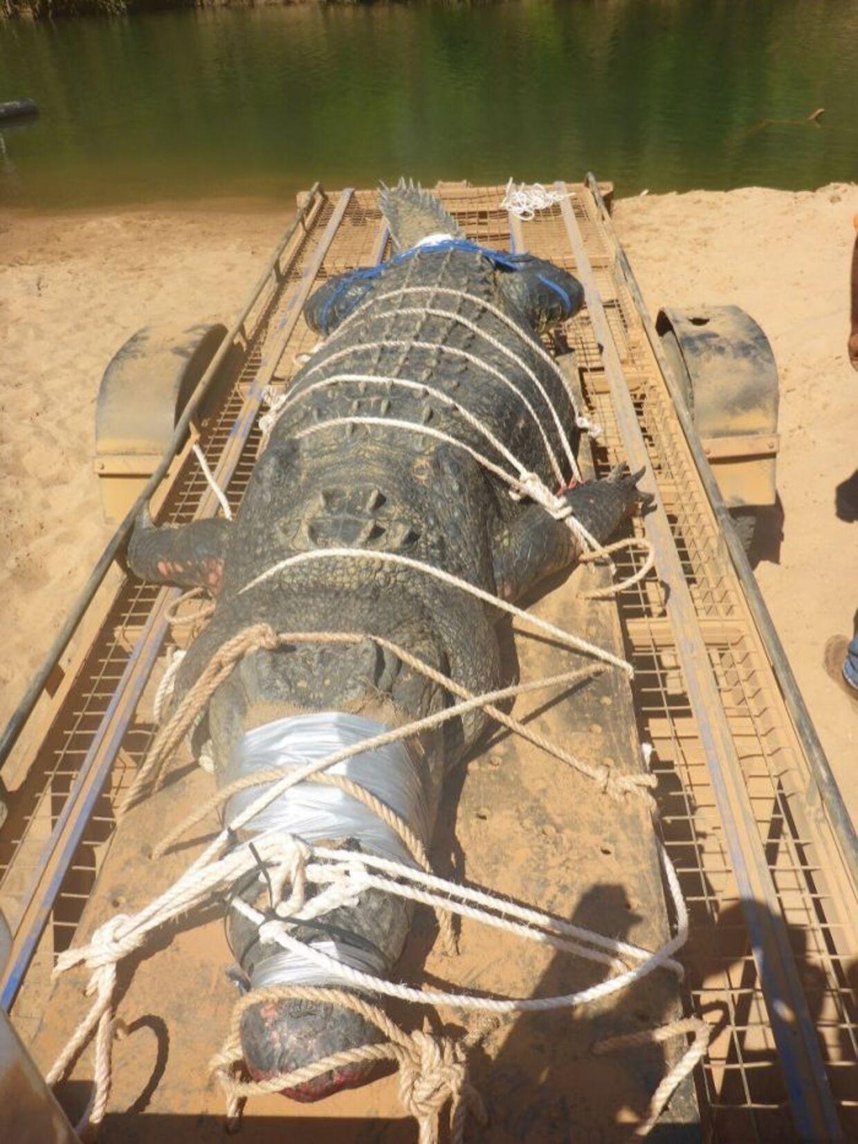 Den vejer godt 600 kilogram, den store krokodille.