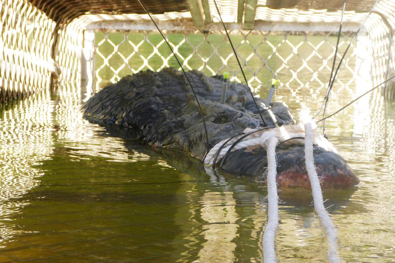 Den knap fem meter lange krokodille er blevet overflyttet til en krokodillefarm.