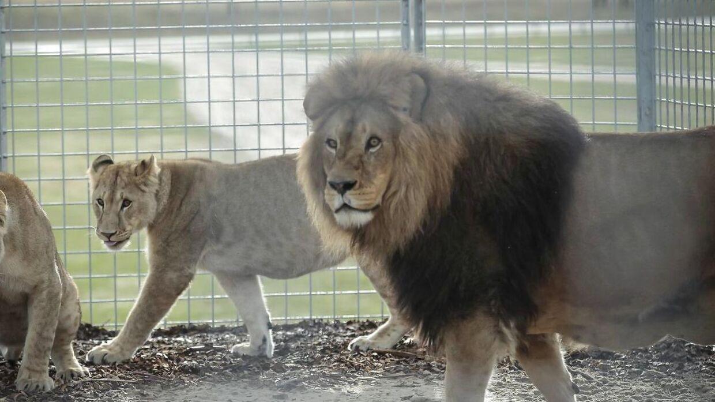 Her ses en løve i Jyllands Park Zoo
