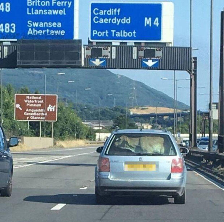 Bilen med koen i baggagerummet kører ganske rigtigt på motorvejen M4 i Wales.