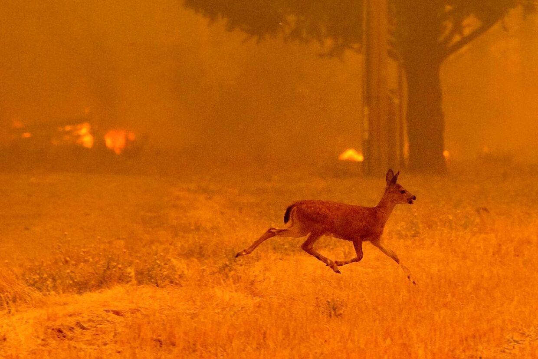 Indtil nu er syv mennesker døde som følge af naturbrandene. Men også dyrene er hårdt ramt. Her springer en hjort for livet. AFP PHOTO / NOAH BERGER