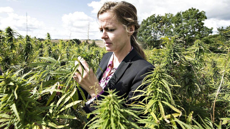 Sundhedsministeren mener, at forskningen på medicinsk cannabis er bagud.