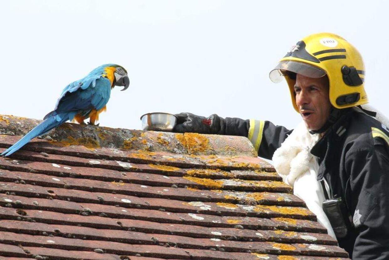Papegøjen var ikke ligefrem veltalende, da redningmanden forsøgte at tale den ned fra tagryggen.