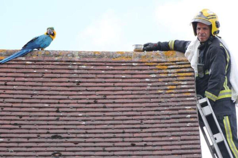 Redningsmanden havde en skål foder med for at lokke papegøjen ned fra taget.