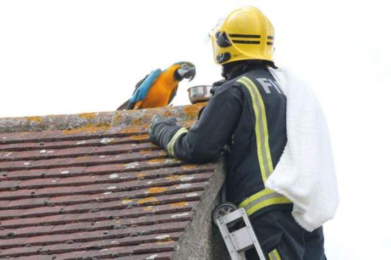 Her er papegøjen lige ved at gå i fælden.