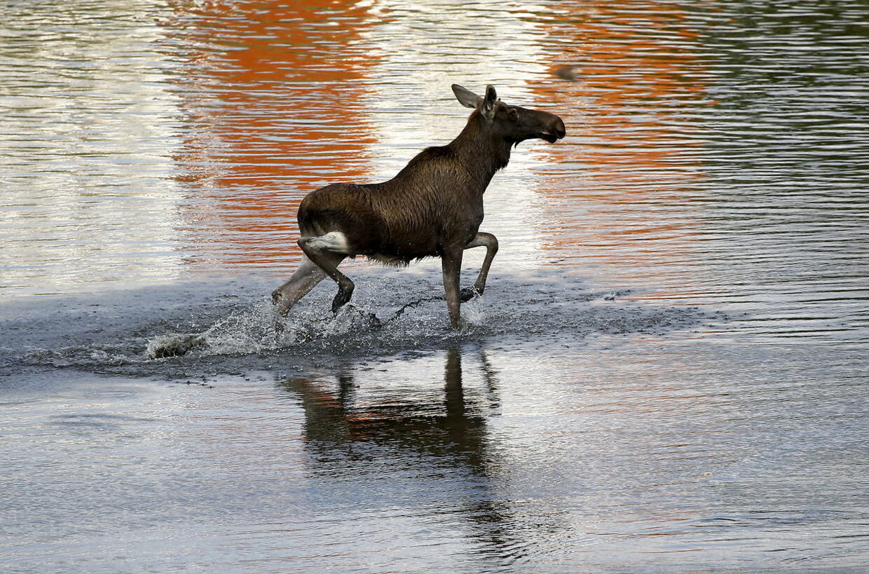 A moose wades in the Vistula river in central Warsaw, Poland August 26, 2015. Local residents reported finding the moose wandering the streets of Warsaw in the morning. REUTERS/Kacper Pempel