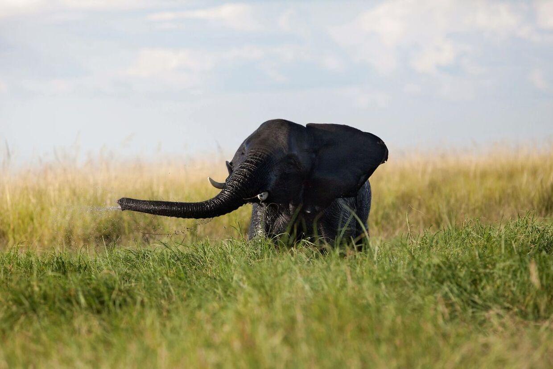 Der er omkring 130.000 elefanter tilbage i Botswana, skriver BBC.