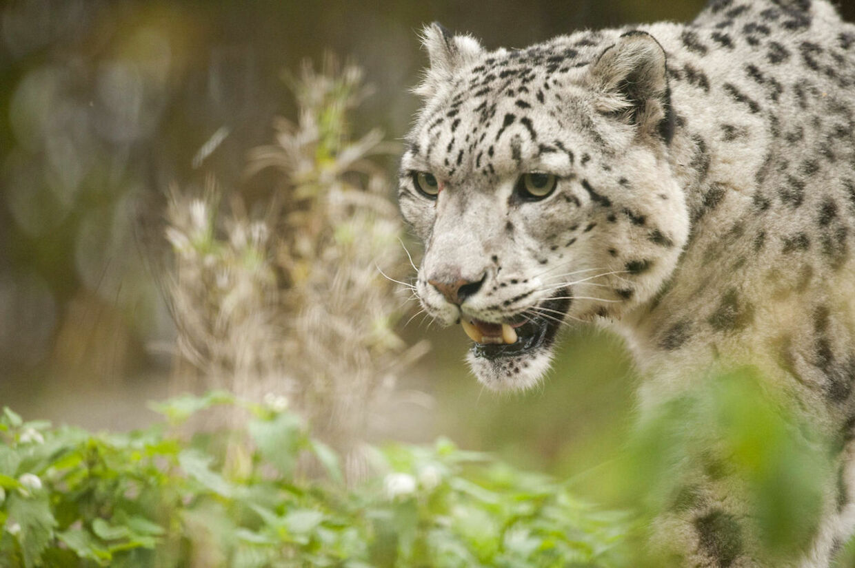 A snow leopard walks around in his enclosure at Korkeasaari Zoo in Helsinki, Finland on October 4, 2012. October 4th is the World Animal Day. AFP PHOTO / JARNO MELA FINLAND OUT