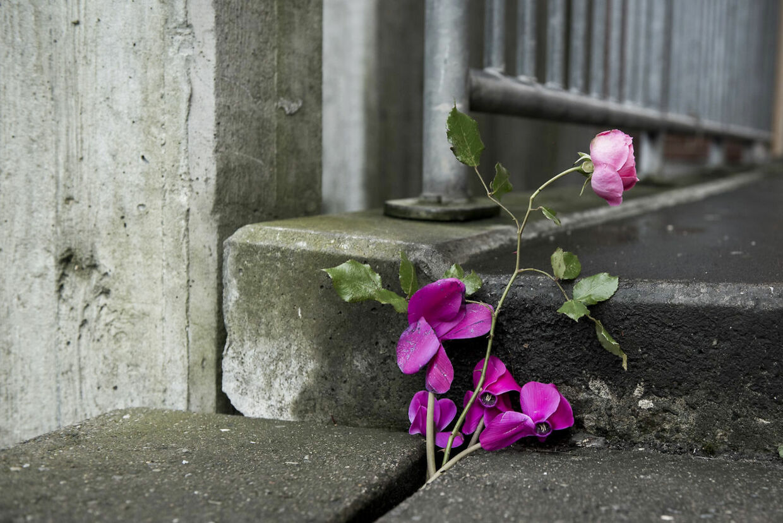 En enlig rose på asfalten i Mjølnerparken dagen efter skuddrab på 22-årig mand i 2017.