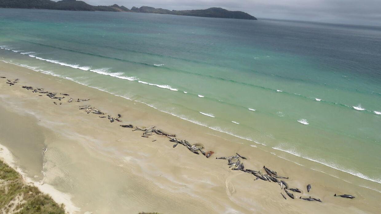 Her ses de 145 hvaler, der strandede på Stewart øen den 25. november 2018.
