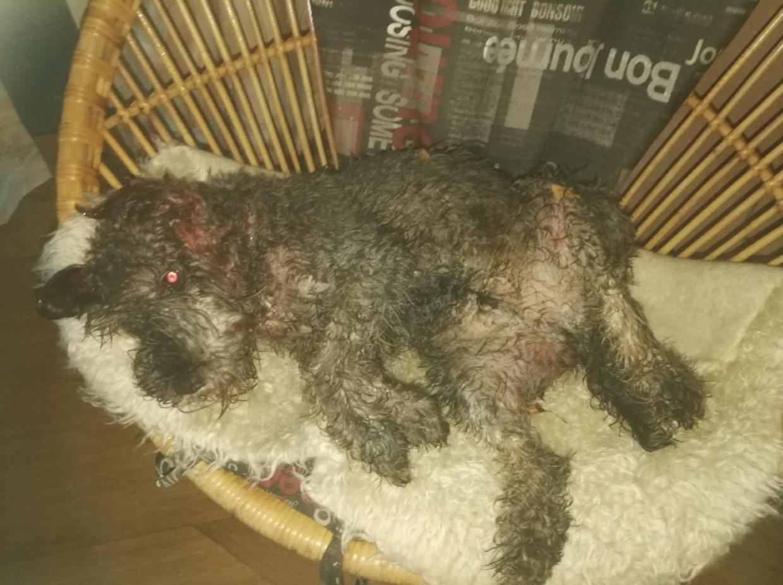 Chris var stærkt medtaget, efter han var blevet angrebet af to Staffordshire Bullterrier-hunde.