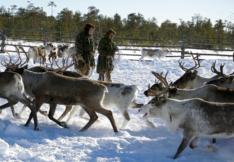 ARKIV: I den sibiriske del af Arktis lever oprindelige folk stadig af at holde rensdyr. Her er det Stepan Sopotjim og hans far Iosif Sopochin udenfor Kogalym i den siberiske Khanty-Mansi region-