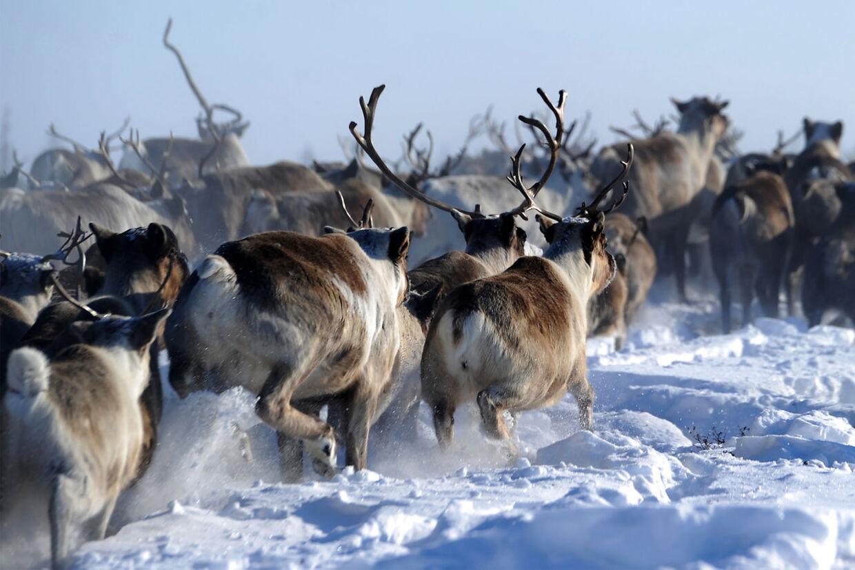 Rensdyr lever tværs over Arktis, der strækker sig fra Alaska i vest til Sibiren i øst.