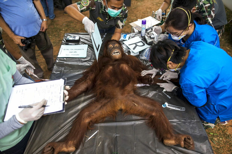 Også aber kan være smittet med rabies. Her bliver en orangutang, der skal sendes tilbage til Borneo, undersøgt af thailandske dyrlæger.