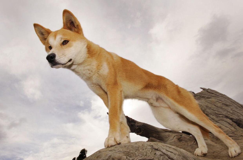 En dingo står på vagt i Australien.