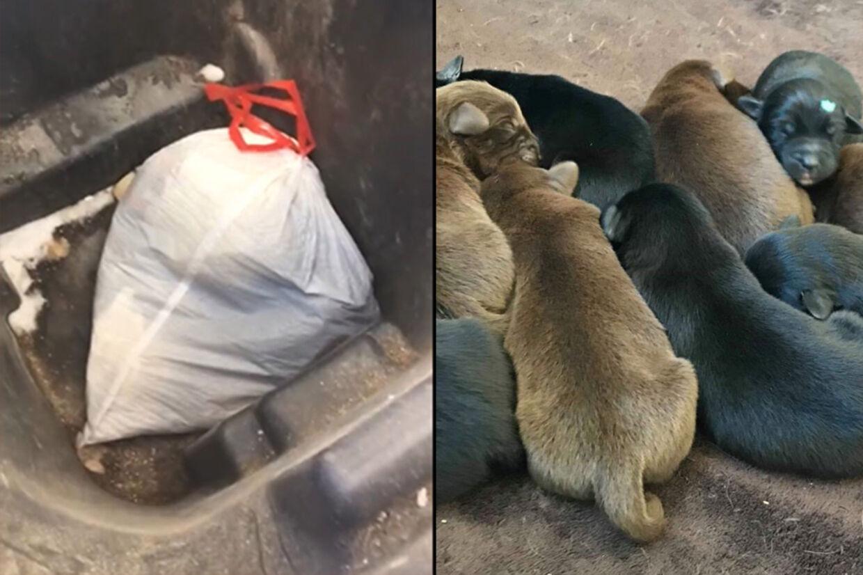 Til venstre sækken med de otte hundehvalpe, der blev smidt i en affaldsbeholder. Til højre de nyfødte hvalpe i live, efter at politiet havde fundet dem.