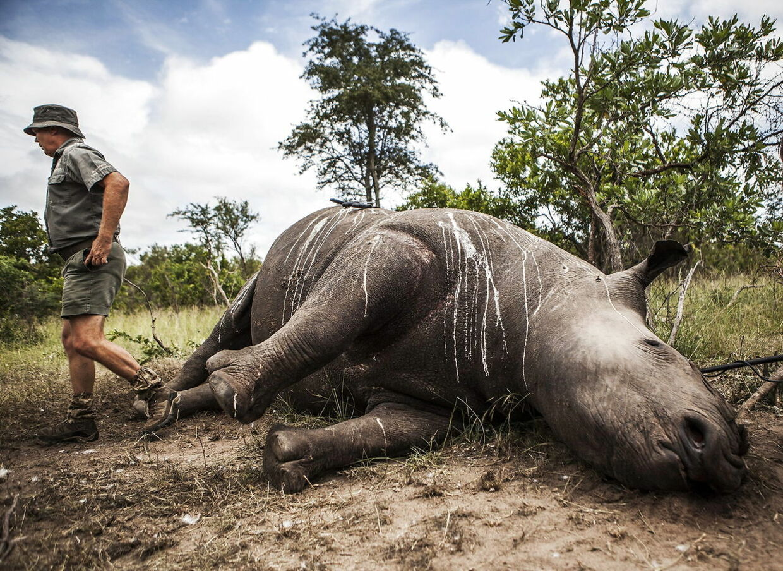 Det er langt fra første gang, at krybskytter opererer i Kruger National Park. I 2015 blev 41 næsehorn fundet dræbt - kun deres horn manglede.