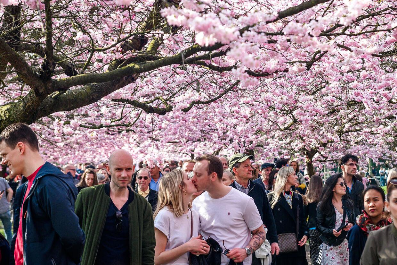 I to til tre uger blomstrer kirsebærtræerne på Bispebjerg Kirkegard.