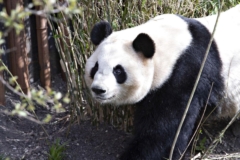 Pandaanlægget i København Zoo. Pandaen Mao Sun. København den 10. april 2019.
