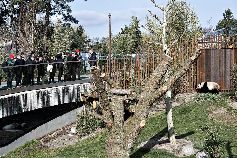 Pandaanlægget i København Zoo. Pandaen Mao Sun og pressen. København den 10. april 2019.